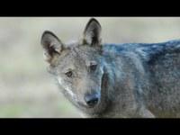 Il monitoraggio nazionale del lupo