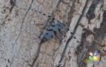 Rosalia alpina: the most elegant european beeatle
