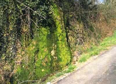 """Scarpata alla base di un terrazzo alluvionale, sorgente libera detta """"Spugno"""", dove il travertino è rivestito da muschio (Casola Val Senio, RA, foto G. Ercolessi"""