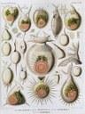 Esempio di radiolari, i microrganismi che costituiscono le rocce denominate Radiolariti