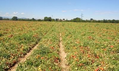 Seminativo annuale: pomodori - qualità biologica suoli