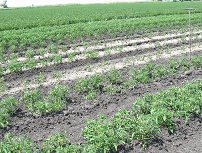Efflorescenze saline su coltura di pomodoro
