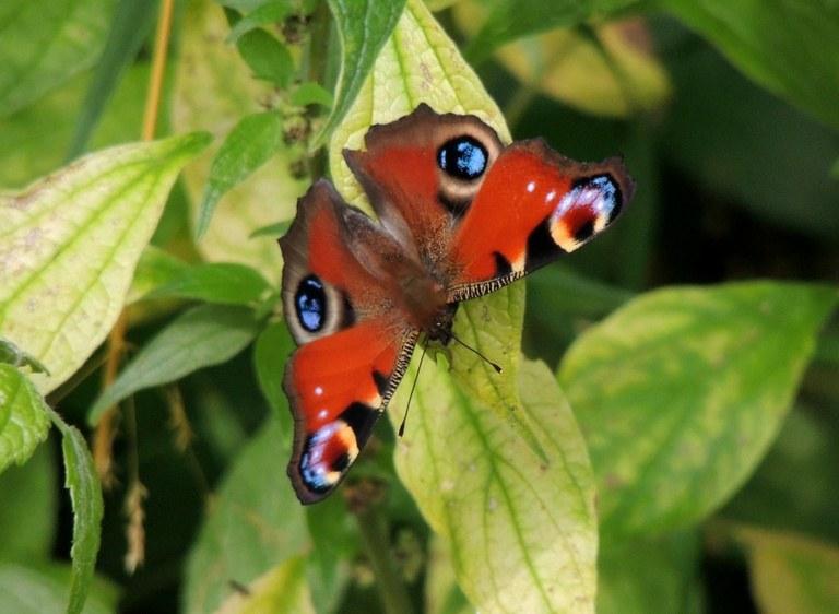 Farfalla Vanessa occhio di pavone