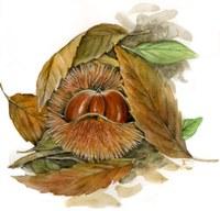 Castanea sativa (frutto)