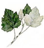 Pioppo Bianco