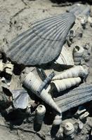 foto: vari tipi di fossili presso i calanchi di Brisighella - autore F. Liverani (Archivio Servizio Parchi)