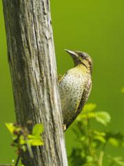 Fauna parchi foreste e natura 2000 e r ambiente for Divora larve di zanzara