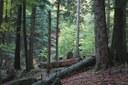 foto:il bosco della Riserva naturale  di Sasso Fratino (autore N.Agostini)