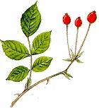 Rosa di S.Giovanni