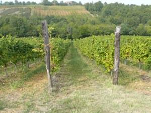 Paesaggio con vitigni