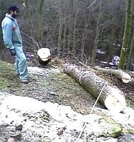 Al taglio e alla sramatura segue l'allestimento (trasporto dal letto di caduta al primo imposto) del materiale legnoso utilizzato. Foto Stefano Bassi