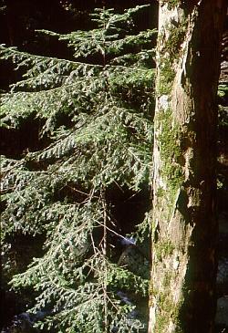 L'abete bianco pazienta all'ombra del vecchio acero di monte. Foto Stefano Bassi