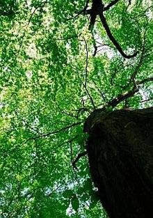 Vetusto esemplare di carpino bianco. Bosco della Frattona BO (foto Fabio Liverani)