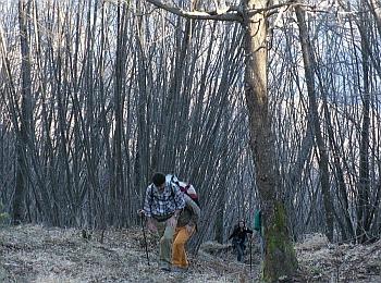 Il ceduo giovane presenta solitamente folti gruppi di esili polloni (qui di carpino nero) alternati a matricine (qui di cerro) regolarmente distribuite. Foto Stefano Bassi