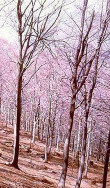 Fustaia transitoria di faggio su terreno demaniale. Foto Stefano Bassi, archivio personale