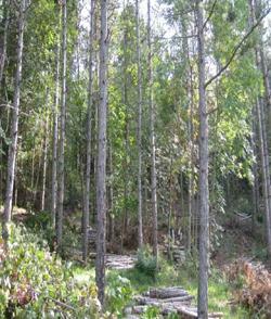 Foto: diradamento di conifere (archivio Servizio Aree Protette, Foreste e Sviluppo della Montagna)