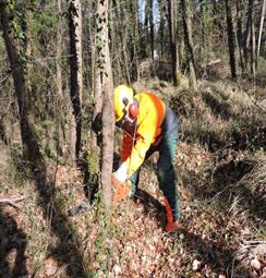 Foto: intervento di taglio di un albero in bosco (Gabriele Locatelli).