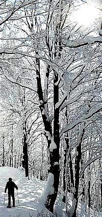 La neve non stronca i faggi in salute. Foto Stefano Bassi