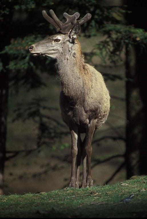 Cervo di profilo