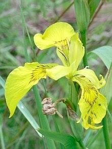 Iris pseudacorus, specie spontanea dei fossi e dei bordi umidi in pianura. Foto Stefano Bassi