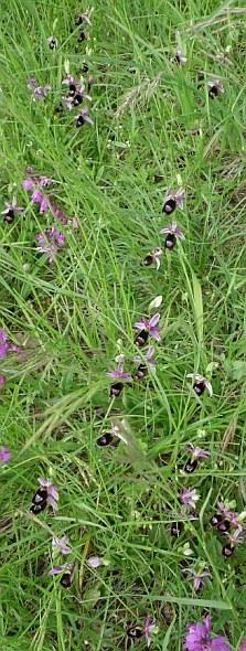 Stupenda fioritura di orchidee (visibile ricca popolazione di Ophrys bertolonii) in mesobrometo: habitat 6210. Foto Stefano Bassi