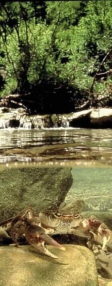 Granchio di fiume (Potamon fluviatile) nel suo ambiente naturale. Foto Fabio Liverani, archivio Servizio Parchi e Risorse forestali