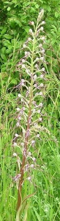 Orchidea Himantoglossum adriaticum, specie di interesse conservazionistico comunitario. Foto Stefano Bassi