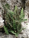 Felce su gesso Cheilanthes persica, specie relitta esclusiva dell'Emilia-Romagna per l'Italia. Foto Stefano Bassi
