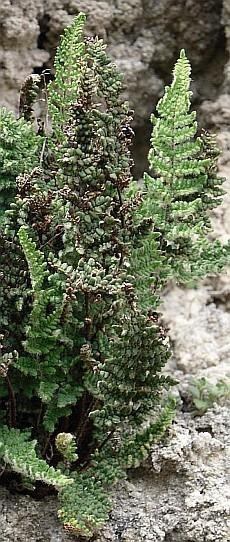 La felce rupicola Cheilanthes persica, specie relitta esclusiva dell'Emilia-Romagna per l'Italia, presente solo sulla Vena del Gesso romagnola. Foto Stefano Bassi