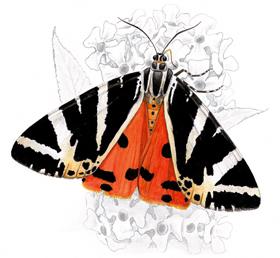 disegno: Callimorpha quadripunctaria (autore M. Toledo)