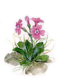 disegno: Primula Apennina (autore T. Gironi)