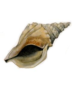 Charonia nodifera (autore T. Gironi)