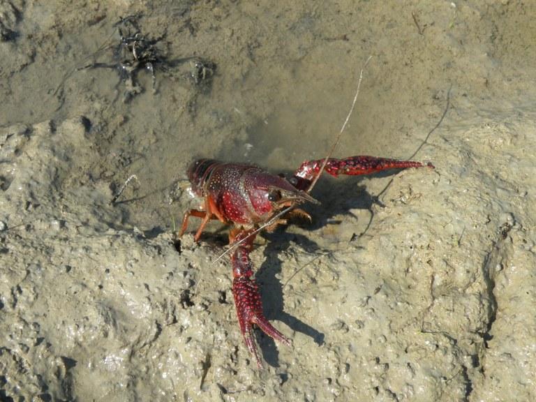 02-Procambarus clarkii m - Roberto Fabbri.jpg