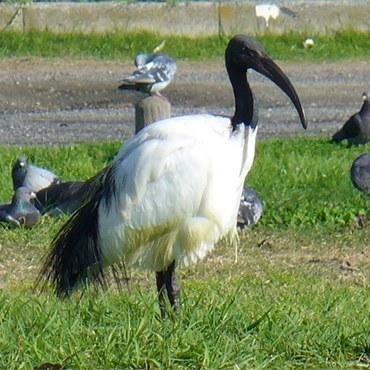 ibis_ISPRA.jpg