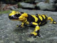 Salamandra appenninica (Autore Francesco Grazioli)