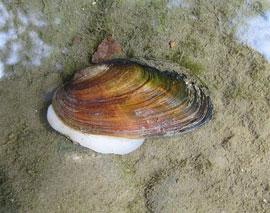 Microcondylaea compressa (foto: I.Niero)