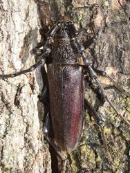 Cerambice della quercia - Cerambyx welensii (foto: G.Giovagnoli)