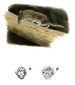 Crocidura minore