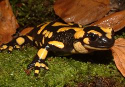 Salamandra pezzata (autore: G.Tedaldi)