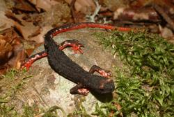 Salamandrina di Savi(autore: G.Tedaldi)