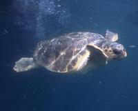 Tartaruga caretta o comune (Fondazione cetacei onlus)