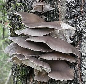 Funghi del genere Pleurotus su tronco di cerro. Foto Stefano Bassi, archivio personale
