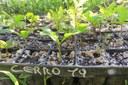 Plantule di cerro (Quercus cerris L.) alla prima stagione vegetativa (foto di Andrea Bernardini)